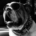 Frankie Bulldog Las Vegas SEO
